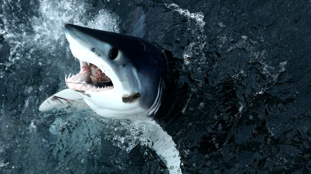 It's Pathetic:  World Fails to Protect One of the Most Eaten Sharks