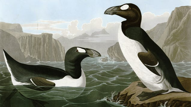 Humans Alone Were Responsible For This Big Atlantic Seabird s Extinction, New Evidence Shows