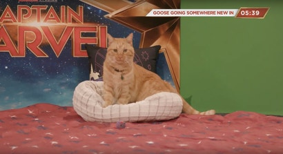 Watch Captain Marvel's Goose Actor Do Cat Things On YouTube