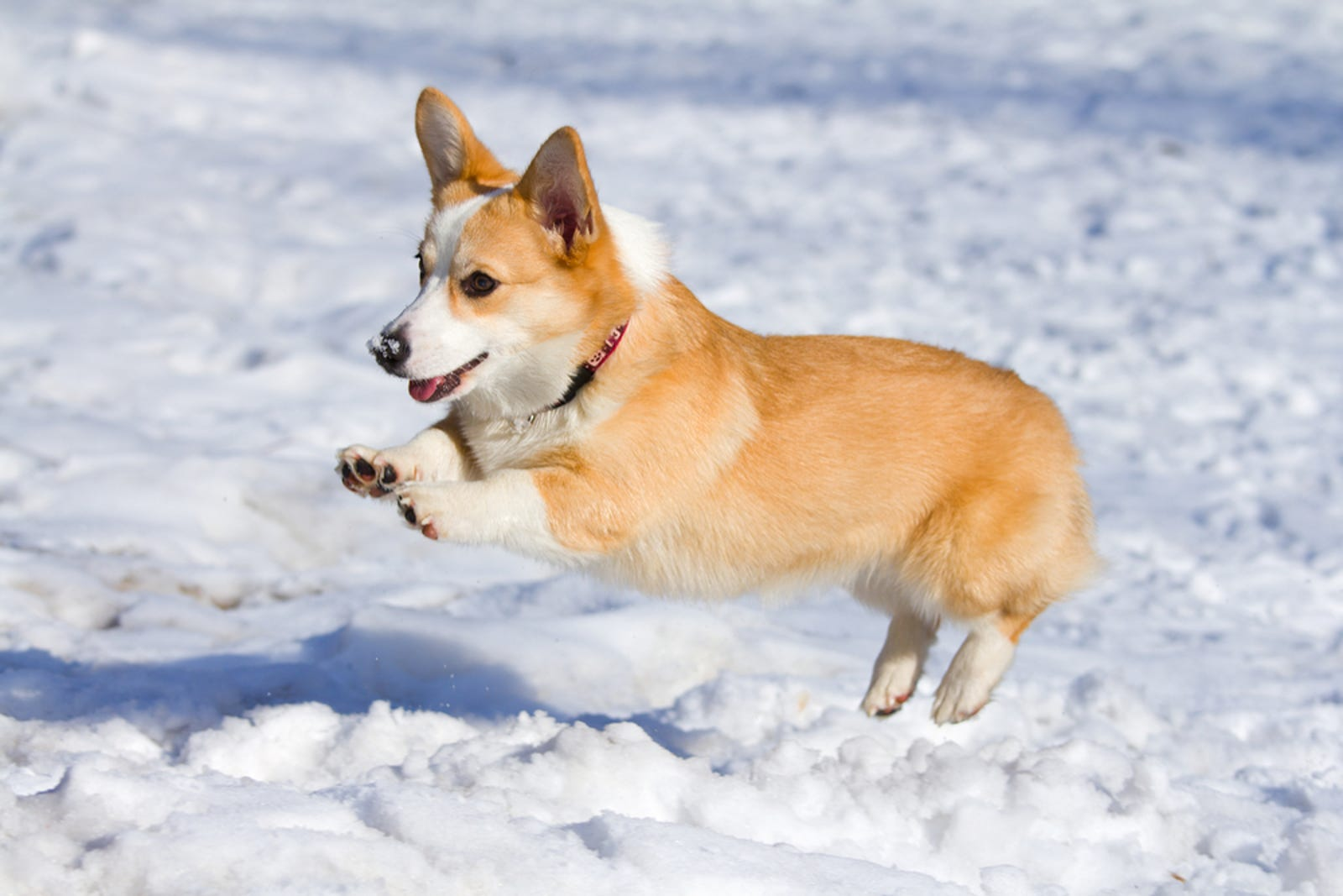 """Corgi in the snow"" Snow Frolics Don't let corgis play in the cold weather check out more good content here"