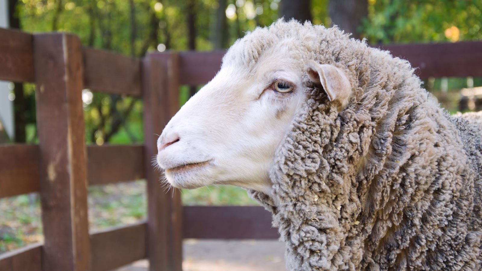 """The Big Sheep: It's frustrating being told to """"watch your fingers,"""" but what's even more frustrating is offering them and not getting so much as a nibble."""
