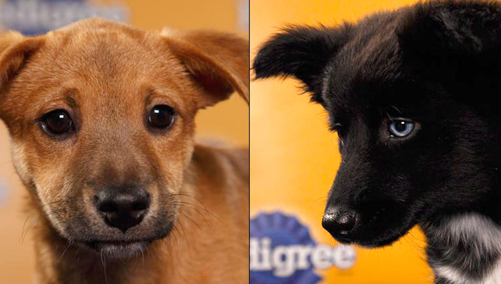 Nation's Least-Appealing Puppies To Face Off In Puppy Bowl