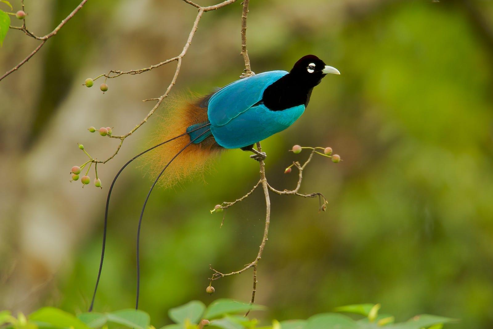 The blue bird-of-paradise.