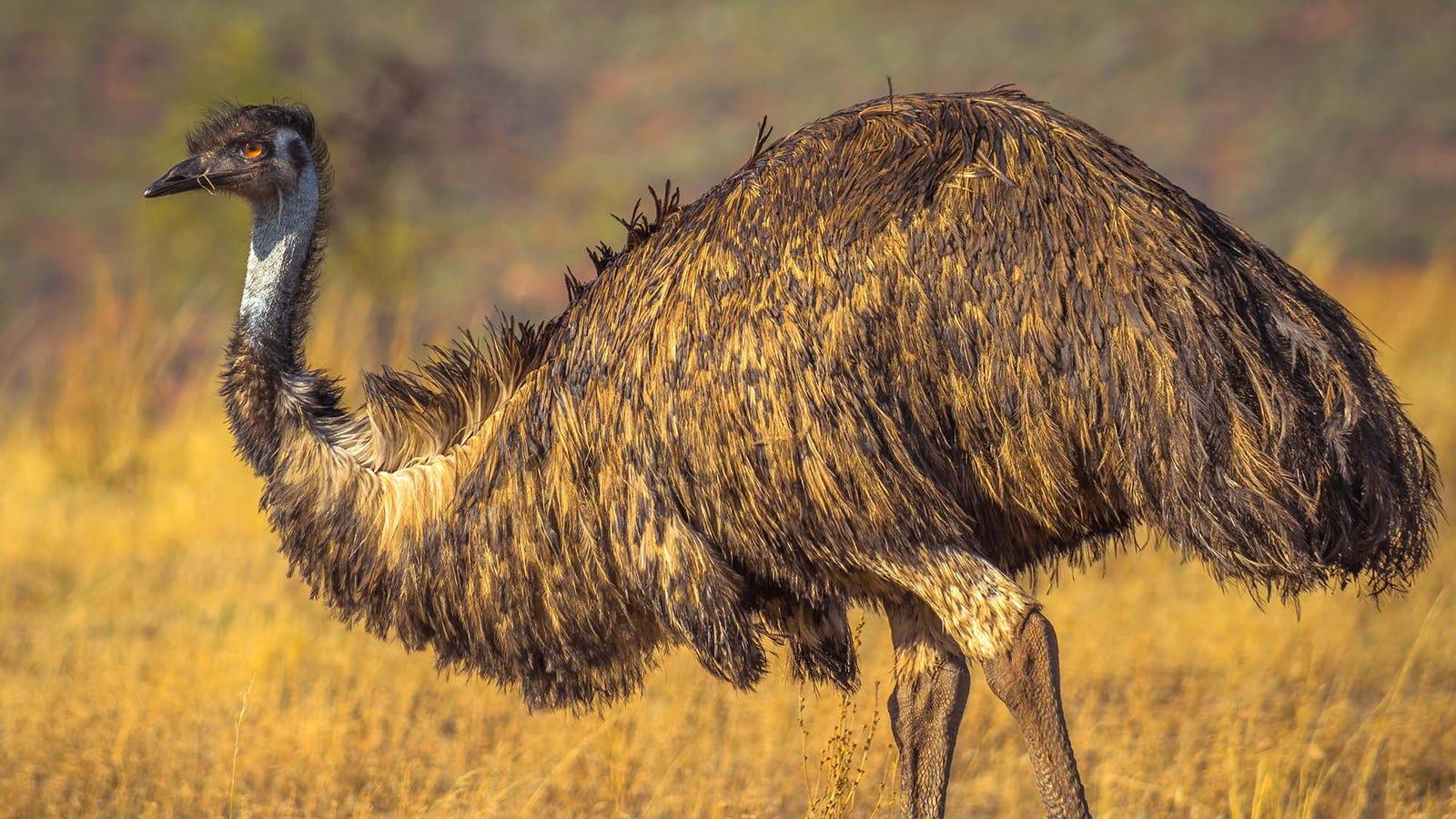 Emu: Ostrich rip-off.