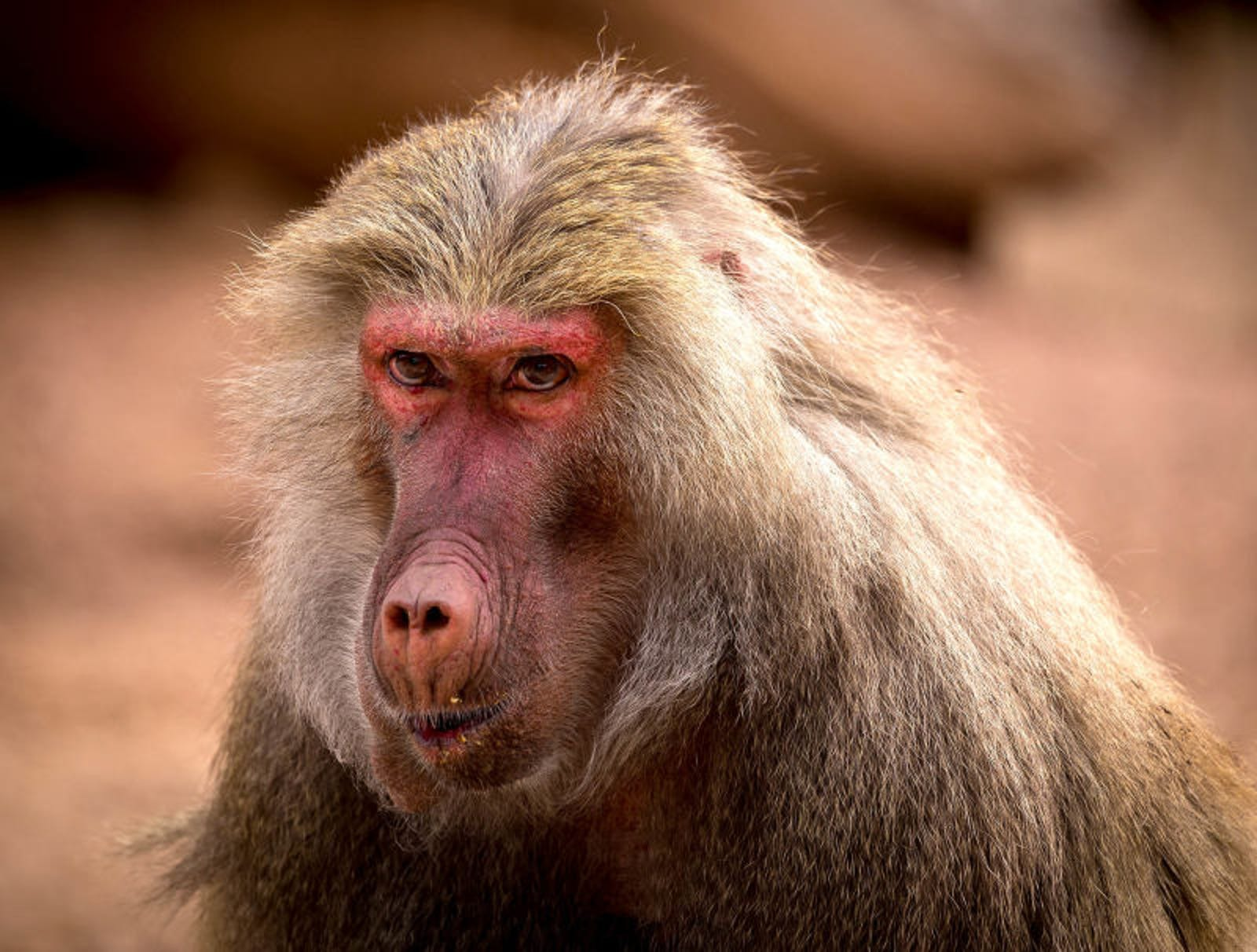 Humiliated Baboon Unable To Keep Ass Swollen In Front Of Mate
