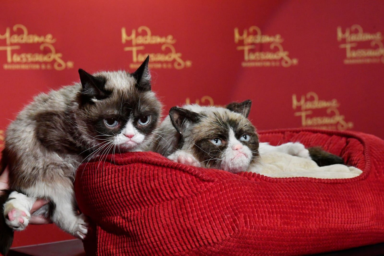 """Internet phenomenon Grumpy Cat brings her iconic """"No Face"""" to Madame Tussauds Washington, DC for a meet-and-greet with fans at Madame Tussauds on September 28, 2016 in Washington, DC."""