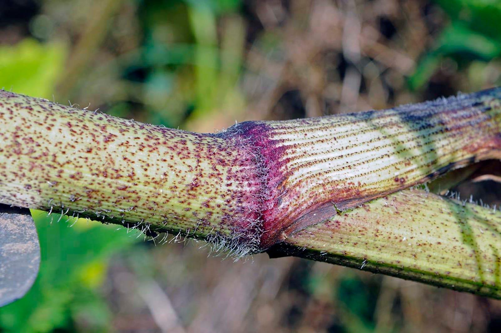 Sus tallos son huecos y están cubiertos de manchas moradas con abundantes pelillos blancos.