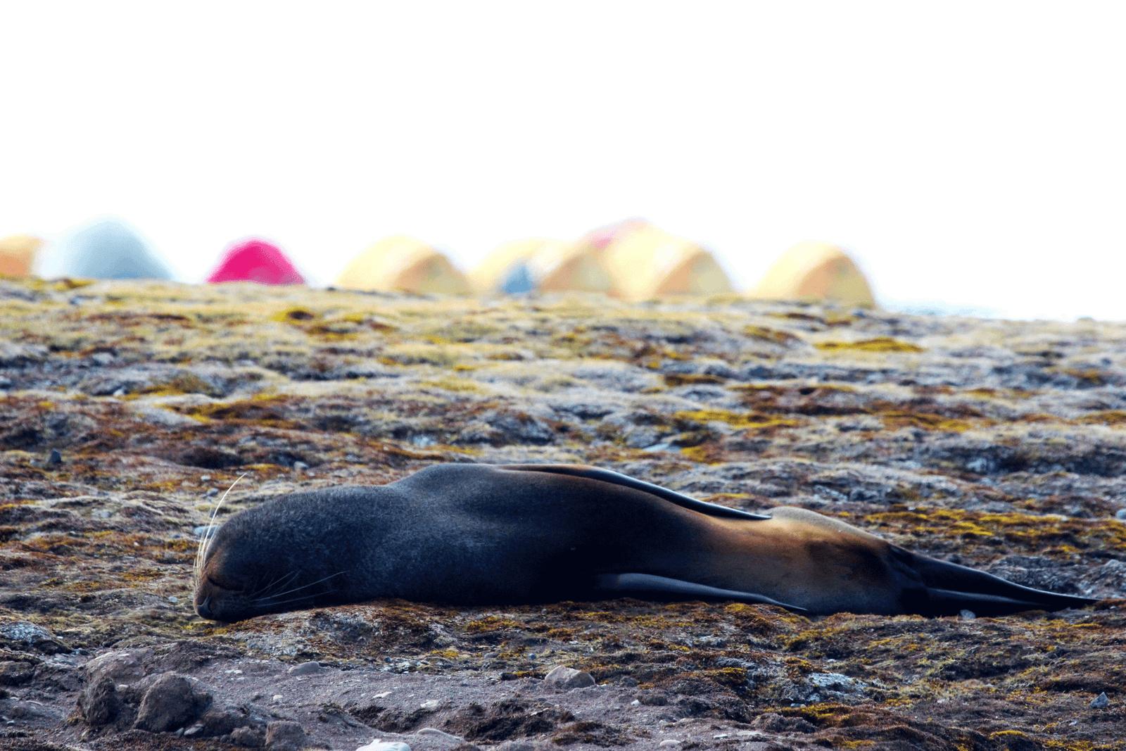 Fur seal asleep in front of Byers Peninsula campsite