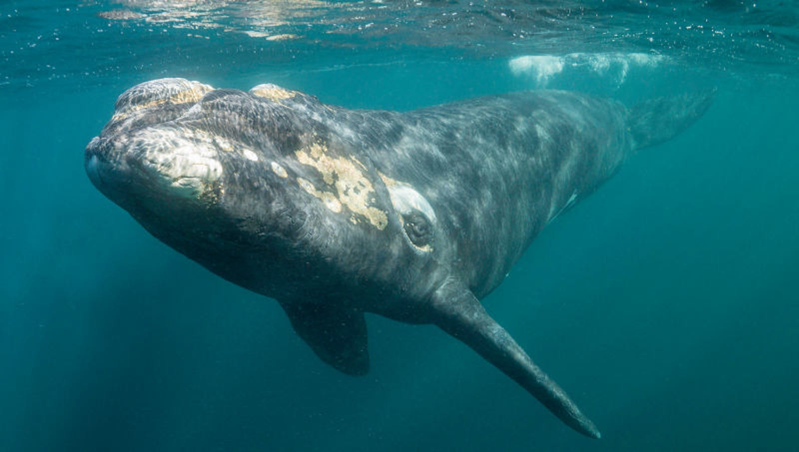 Embarrassed Whale Panicking About Huge Barnacle Outbreak Before Date