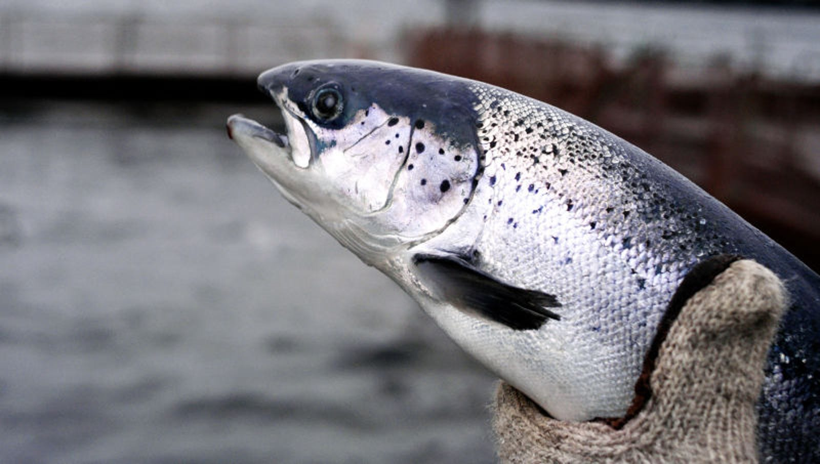 FDA Deems Genetically Modified Salmon Too Handsome To Eat