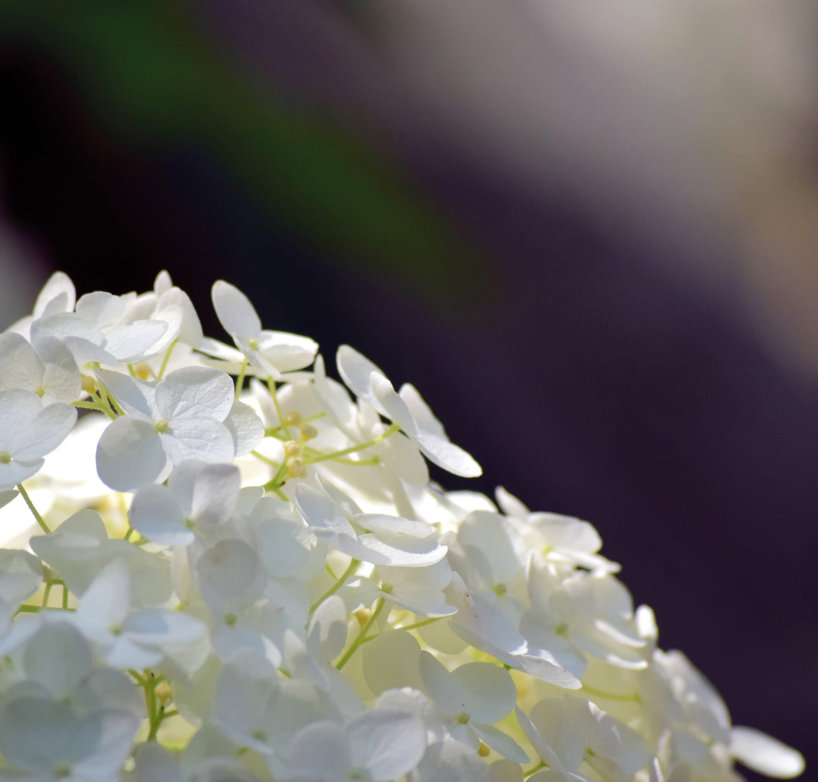 chantilly hydrangea