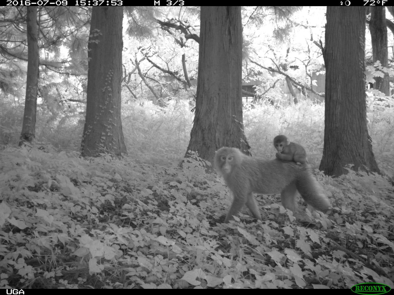 Japanese macaques near Fukushima.