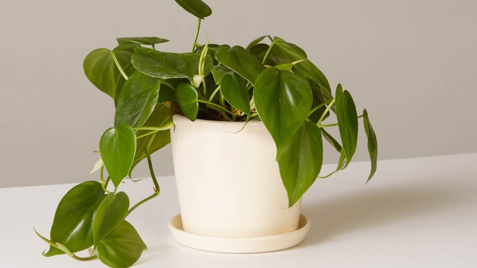 The Sill philodendron in planter, $46