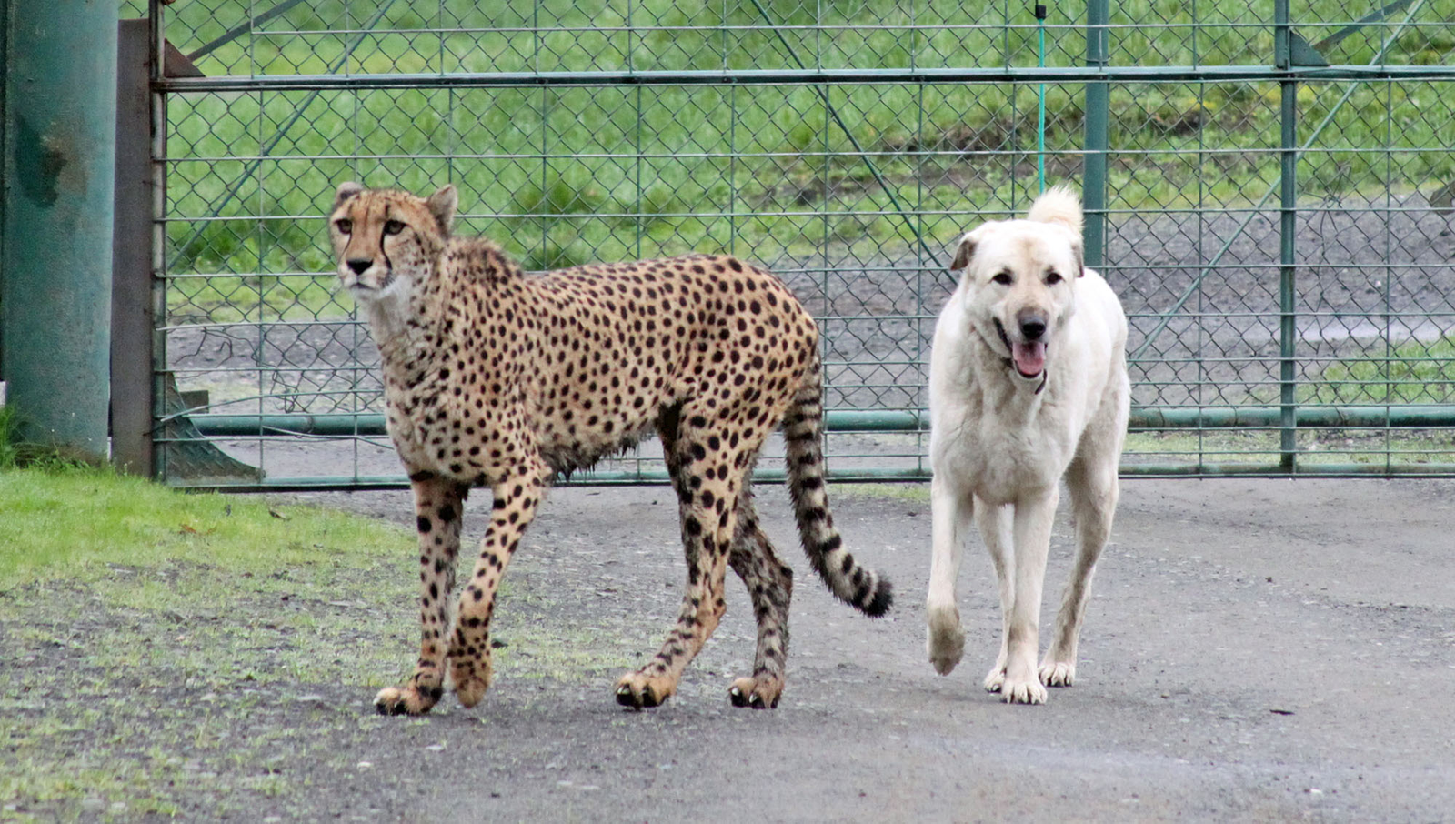 This cheetah is an evangelical Christian and this Anatolian shepherd is an outspoken pro-choice advocate. But the cheetah found it in his heart to invite the Anatolian shepherd out to his chalet in Aspen last Thanksgiving, and the two found common ground over their shared love of skiing.