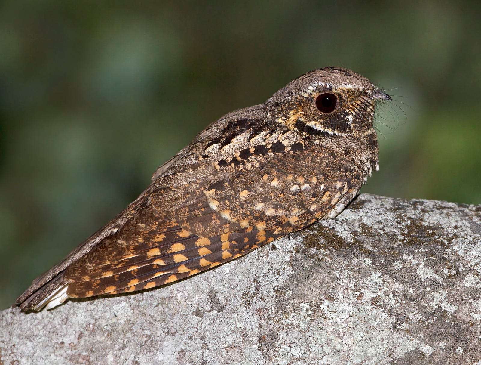Whippoorwill Has Had Same 3-Note Song Stuck In Head For Entire Life