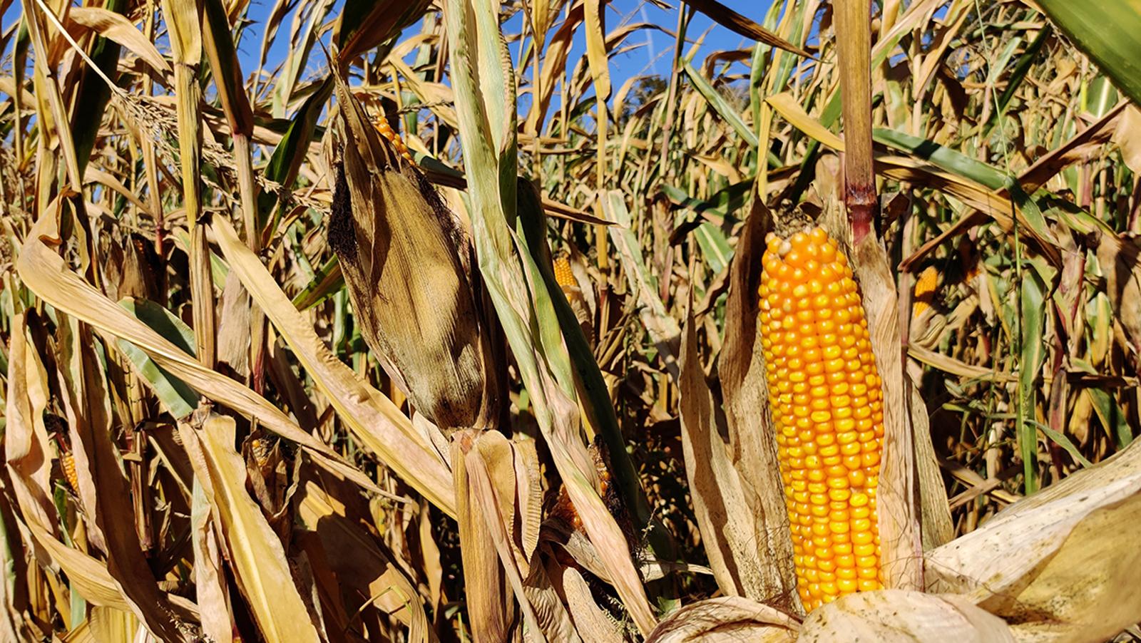 Este campo de maíz seco nunca ha lucido tan bien. Ni siquiera en el mundo real.