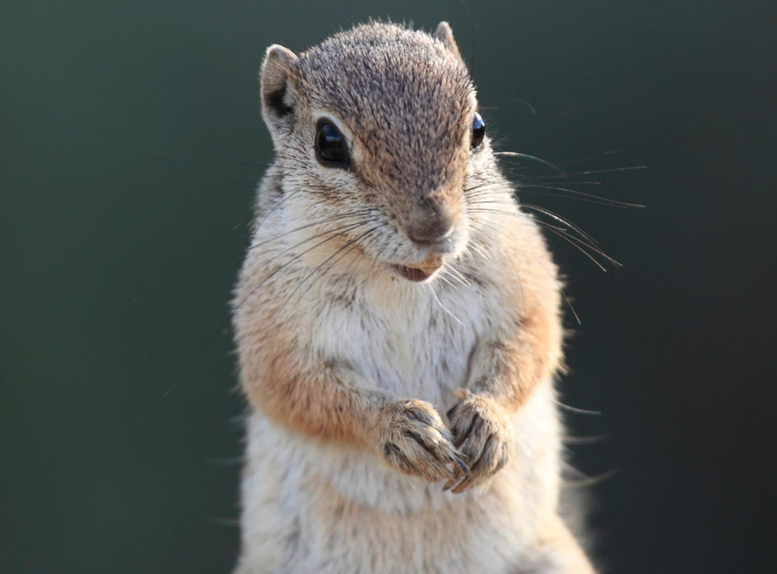 U.S. Renews Contract With Spotted Ground Squirrels Through 2015