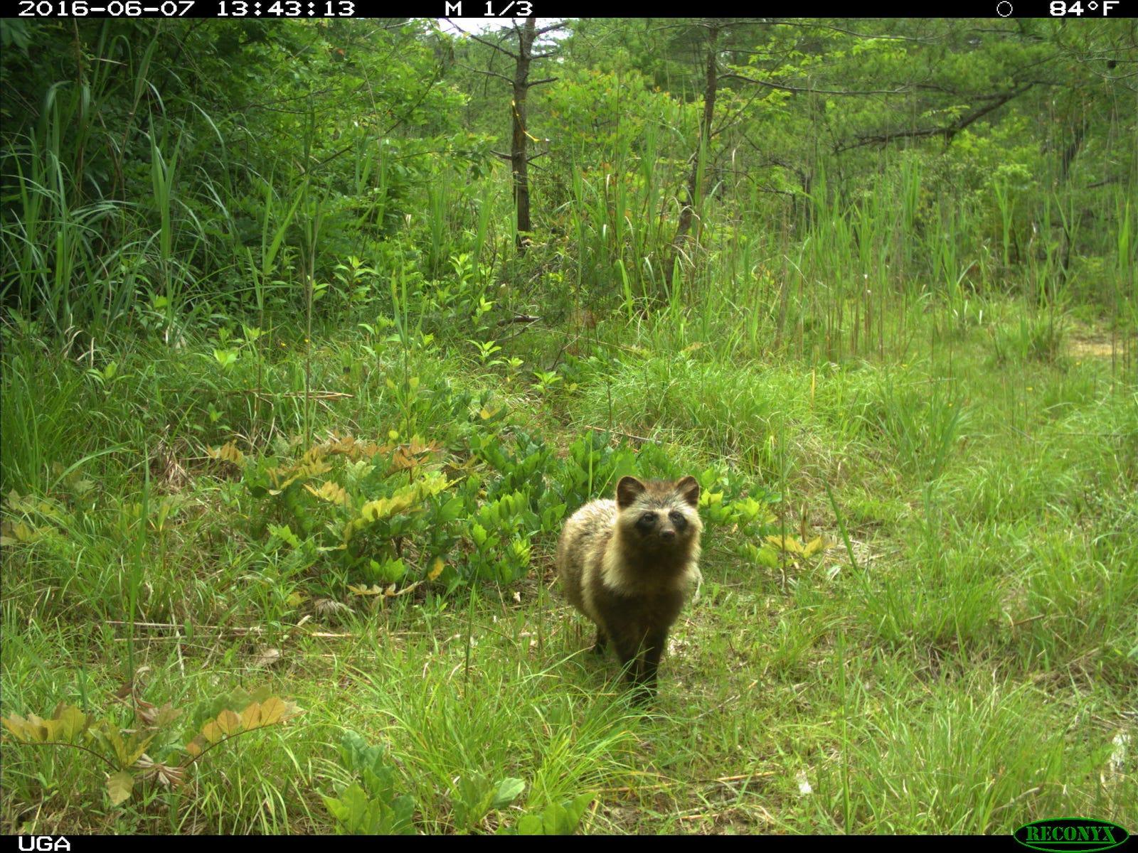 A raccoon dog near Fukushima.