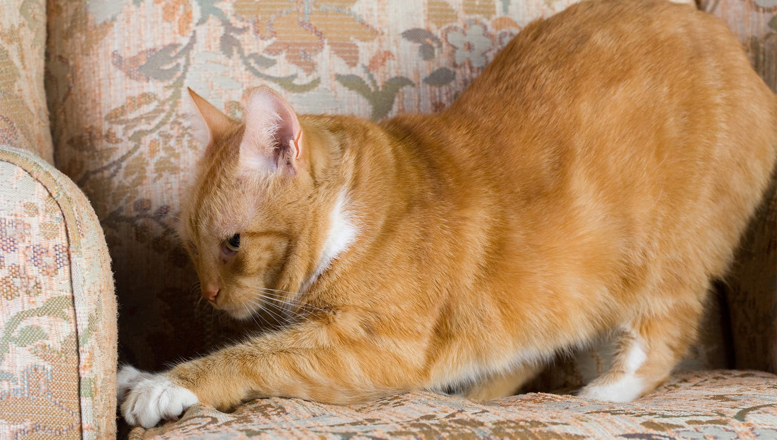 Depressed Cat Just Going Through Motions Of Destroying Couch