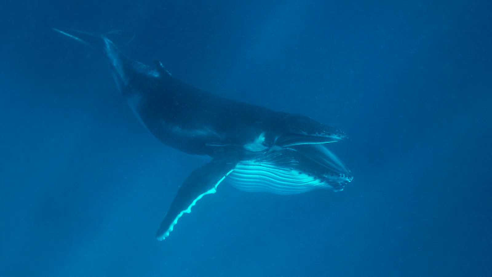 Krill-Eating Whale Too Fucking Cowardly To Prey On Something Its Own Size