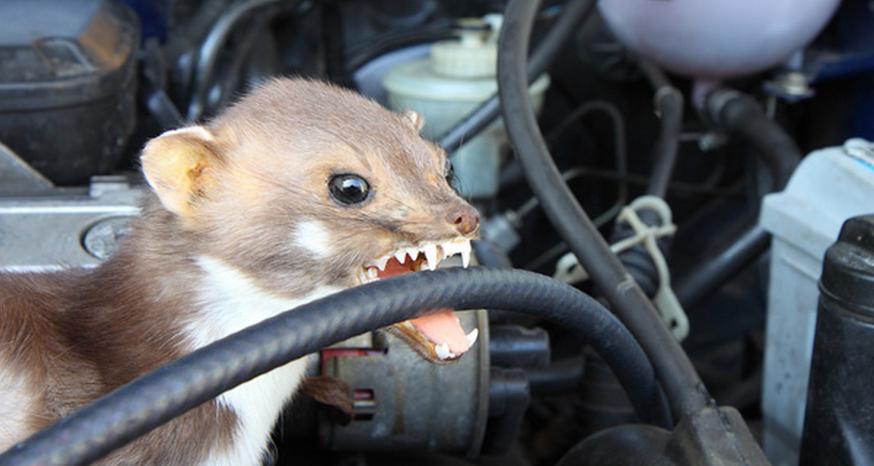Kuny v motore auta: Ako sa ich zbaviť?
