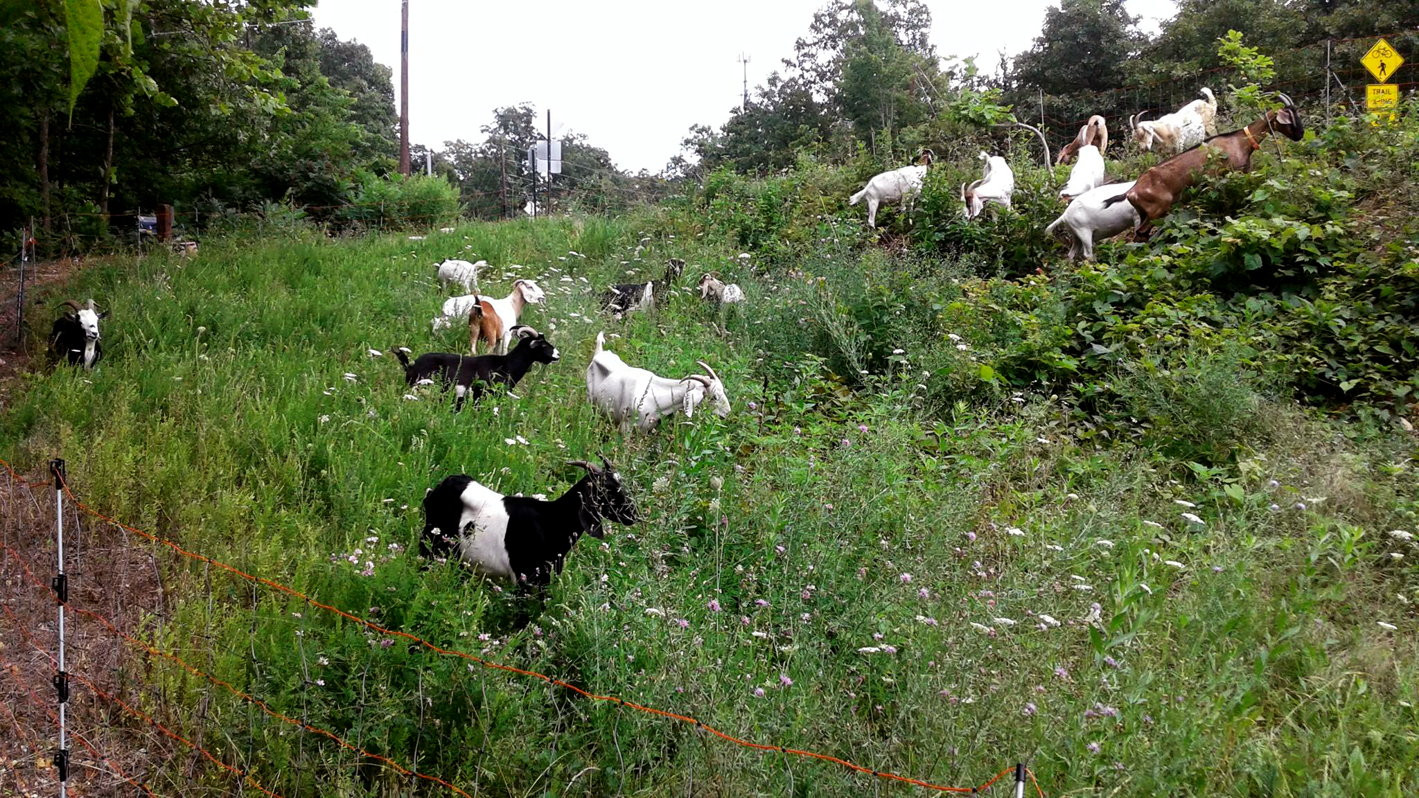 The Best Way To Remove Invasive Species? Greedy Goats