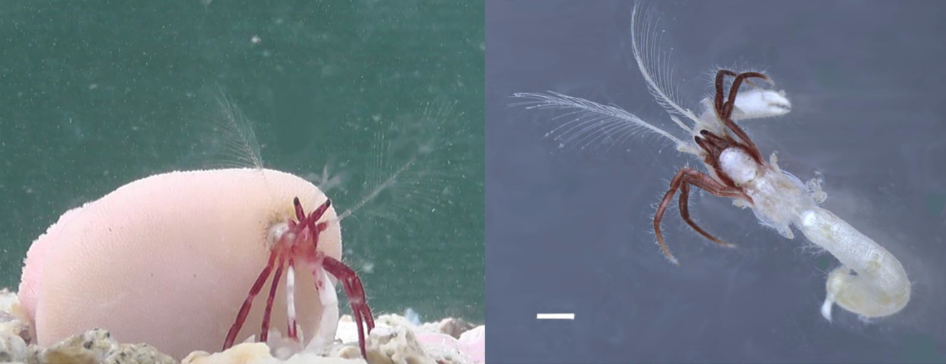 Left: Diogenes heteropsammicola and its coral house. Right: the hermit crab without its coral house. Image: Momoko Igawa