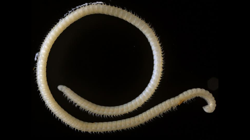 Extremely leggy, male millipede discovered in a cave in California