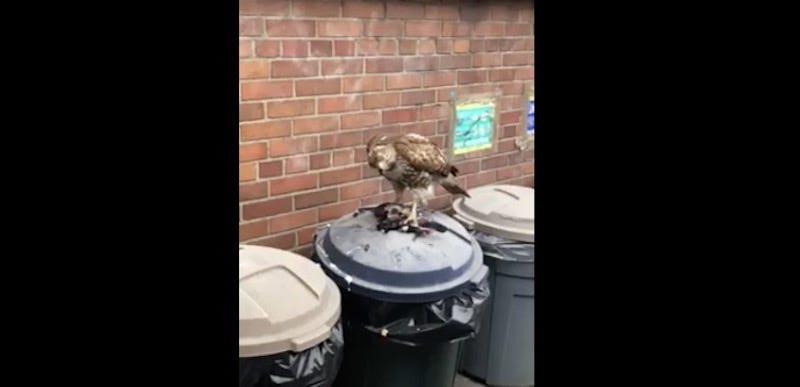 Illustration for article titled Deadspin Nature Moment: A Hawk Eating A Pigeon On Top Of A Trash Can
