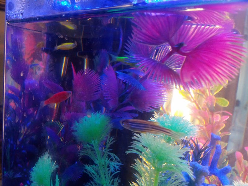 Illustration for article titled Glo-Fish are the Lisa Frank of Aquariums