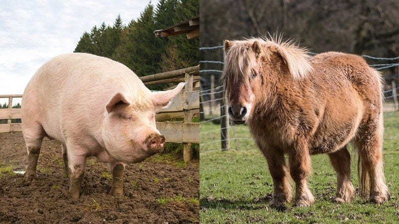 Hyde the pig and Caroline the miniature pony.