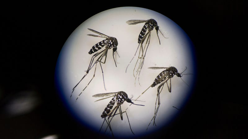 A group of adult female mosquitoes, under a microscope