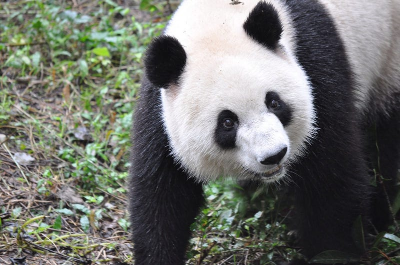 Illustration for article titled Giant Panda Breeding Efforts Have Actually Been Really Successful