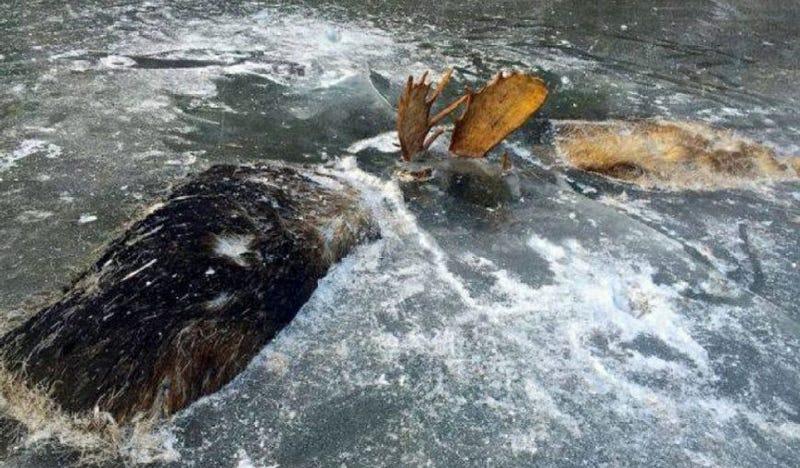 Encuentran dos alces congelados a mitad de pelea en un lago perdido de Alaska