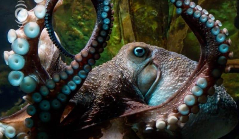 Inky the octopus, fugitive. Image: National Aquarium of New Zealand.
