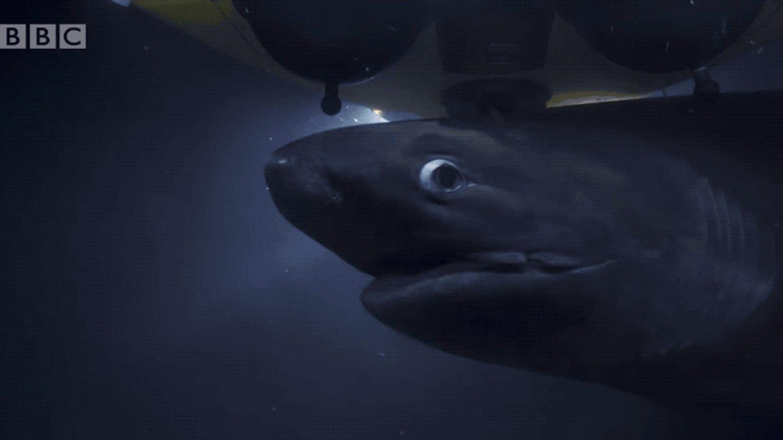 El momento en el que un grupo de tiburones comienza a atacar al submarino tripulado que grababa Blue Planet II