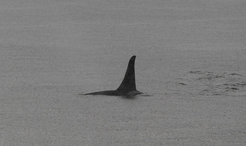 El terror encarnado: la aleta de una orca.