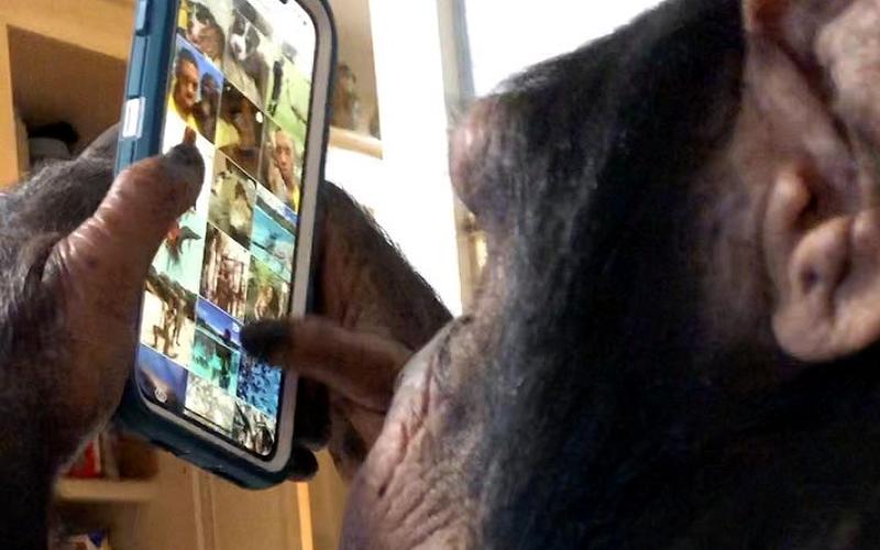 Illustration for article titled Esto es lo que dicen los expertos en simios sobre el chimpancé que se hizo viral mirando Instagram