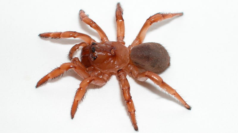 Spiders could have rafted from South Africa to Australian shores