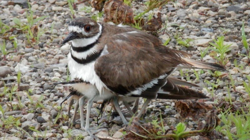 Babies hiding under an adult killdeer.