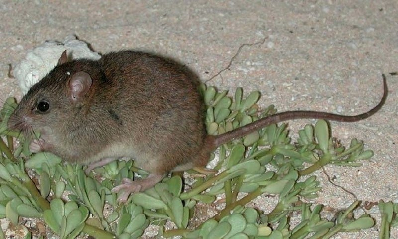 Gone forever: The Bramble Cay melomys is now extinct (Image: Queensland Government)