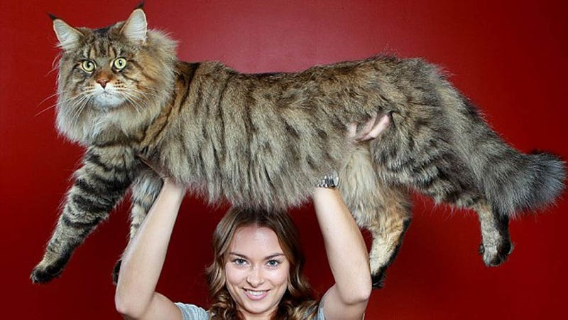 Biggest Cat In The World Guinness Image Gallery Hcpr