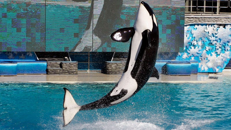 SeaWorld Euthanizes Orca Matriarch Kasatka Following Long Bout From Lung Disease