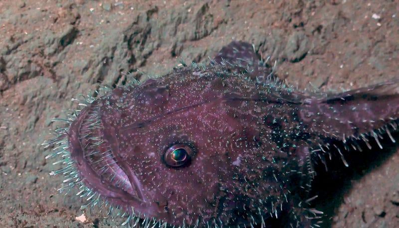 Морський чорт з голками. Фото: Інституту океану Шмідта/Ерік Кордес