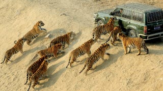 Illustration for article titled Eleven tigers in a single photograph is a rare sight, indeed