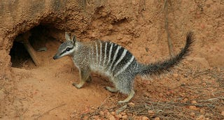 Illustration for article titled Marsupial Monday - The Numbat