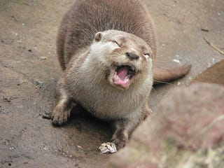 Illustration for article titled Triathlete Hospitalized After Otter Attack