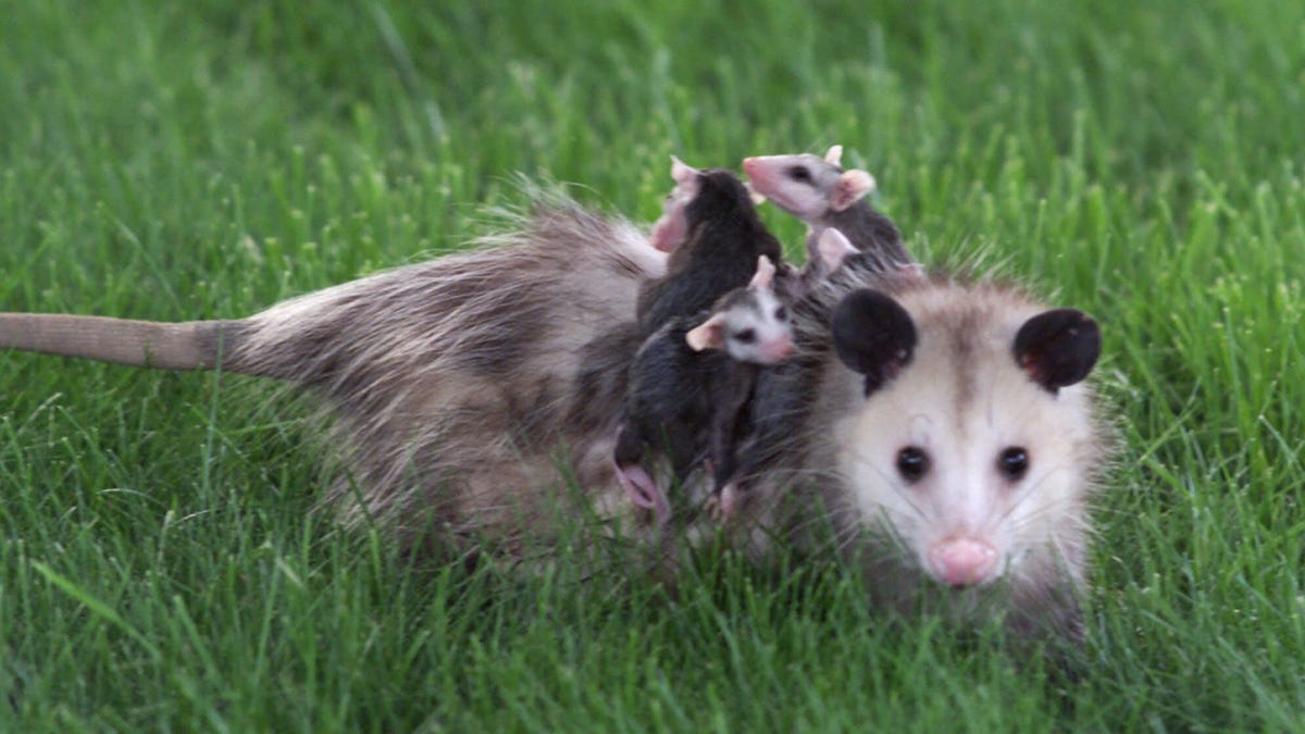 Why Do Opossums Love Trash?