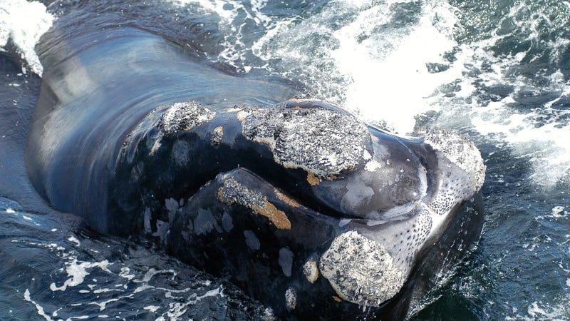 A North Atlantic right whale. Image: Moira Brown/New England Aquarium