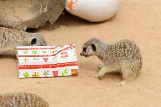 Illustration for article titled Merry Meerkats Celebrate Critter Christmas